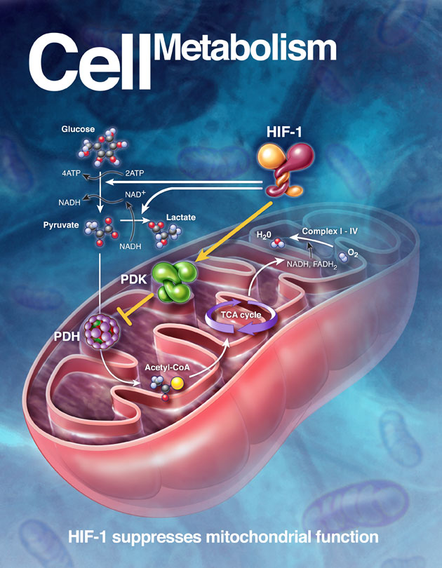 metabolisme-sel
